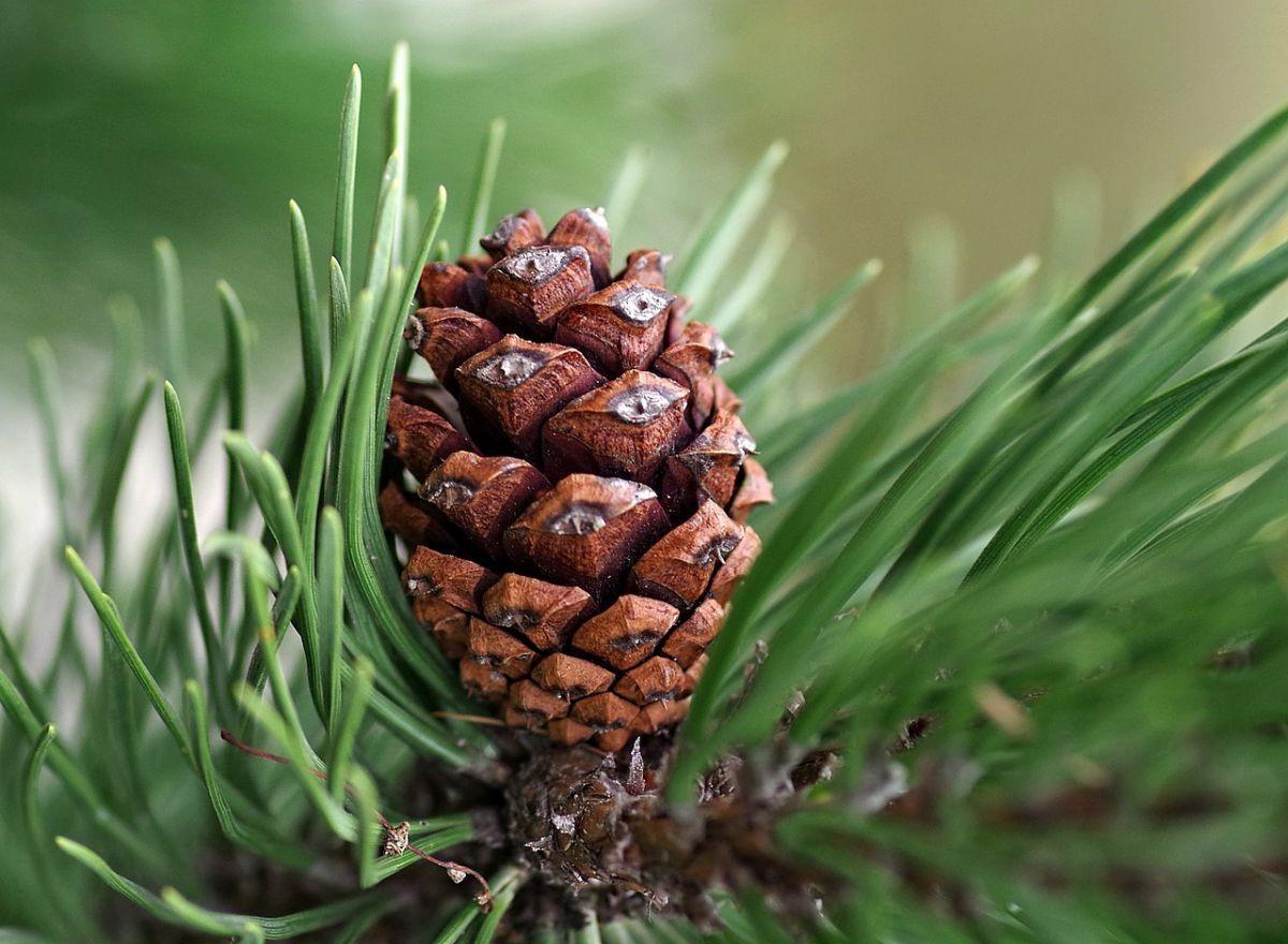 pine-cone-29980641280